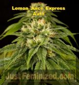 Humboldt Lemon Juice Express ruderalis auto feminized seeds
